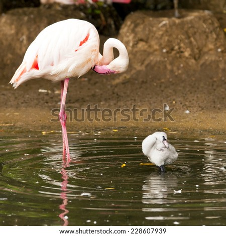 An adult and a young flamingo in the water - stock photo