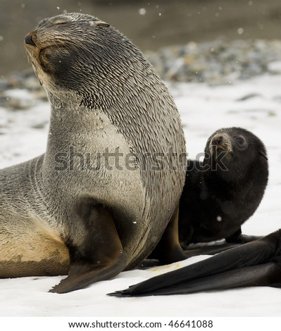 An Adult Antarctic Fur Seal and her black pup, together in the snow - South Georgia. - stock photo