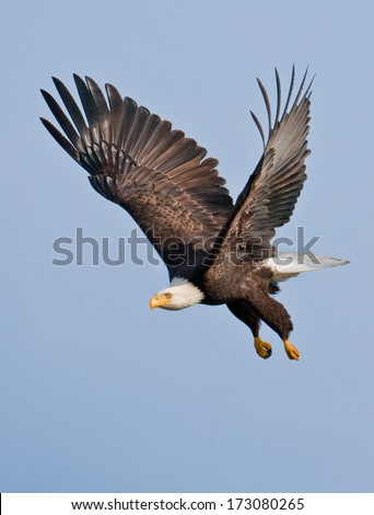 An adult bald eagle takes flight with powerful down-strokes and dangling legs. - stock photo