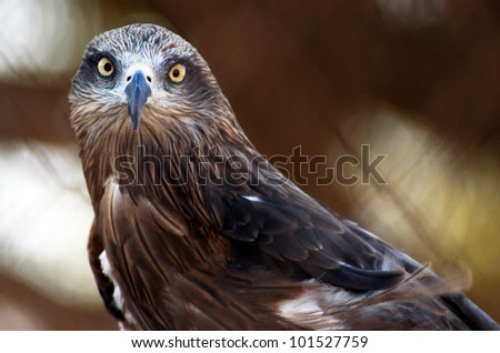 An adult Black-chested snake eagle bird in the wild. - stock photo
