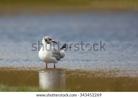 An adult Black headed Gull (Larus ridibundus) moulting from summer plumage to winter plumage, stood in shallow water against a blurred watery background, UK