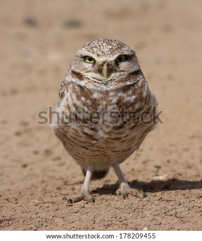 An adult burrowing owl perches on the ground near its nest burrow in eastern Washington state. - stock photo