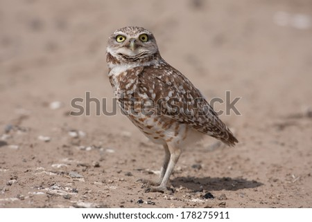 An adult burrowing owl stands on the ground near its nest burrow in eastern Washington state. - stock photo