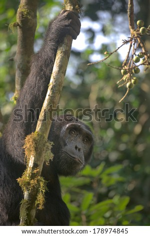 An adult chimpanzee pauses whilst feeding on figs. This chimp is a member of a habituated group in Kibale Forest, Uganda. - stock photo