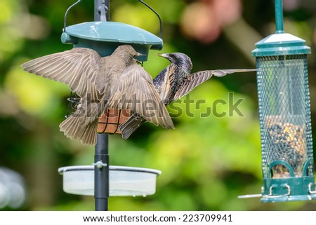 An adult common starling (Sturnus vulgaris) along with a juvenile on a bird feeder in an urban British garden. Horizontal format. - stock photo