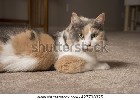 An adult domesticated muted calico cat laying on carpet. - stock photo