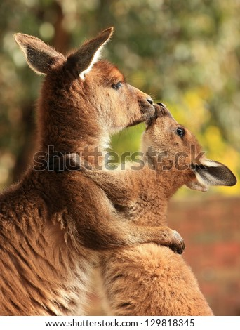 An adult female kangaroo hugging her joey. - stock photo