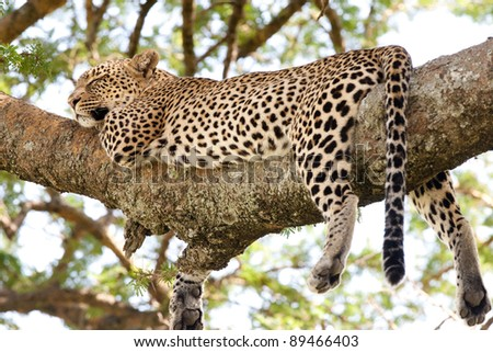 An adult female leopard sleeping on a tree branch in the Serengeti National Park, Tanzania