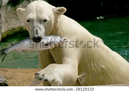 An adult female polar bear emerging from the water with a fish - stock photo