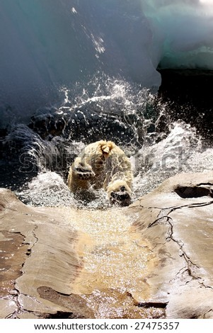 An adult female polar bear (ursus maritimus) jumping into a pool of water - stock photo