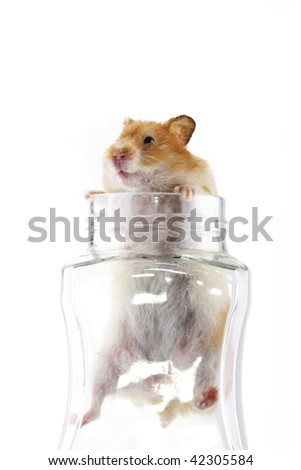 An adult female Syrian hamster climbing out of a transparent glass jar isolated in a white background - stock photo