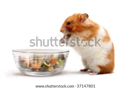 An adult female Syrian hamster eating some food from a glass bowl - stock photo