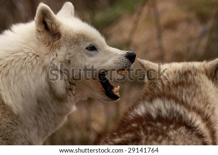 An adult female wolf (canis lupus) barks ferociously at another female - stock photo