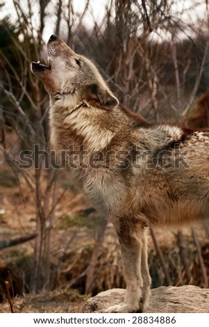 An adult female wolf (canis lupus) howling to the rest of her pack