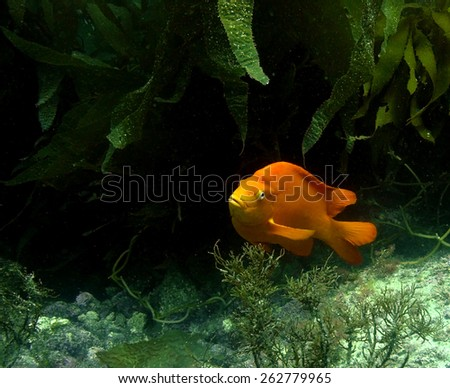 An adult Garibaldi in a kelp forest off of Catalina Island, California.                                           - stock photo
