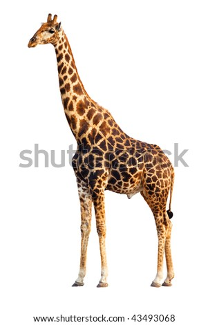 An adult Giraffe isolated against white background; Giraffa Camelopardalis - stock photo