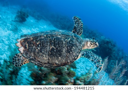 An adult Hawksbill sea turtle swims above a coral reef near the island of Grand Cayman in the Caribbean Sea. This is an endangered species but common around the Cayman islands. - stock photo