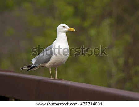 An adult Herring Gull stands on a bridge railing at eye level with a green forest in the background.