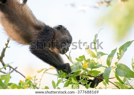 An adult howler monkey hanging upside down eating a yellow flower bud - stock photo