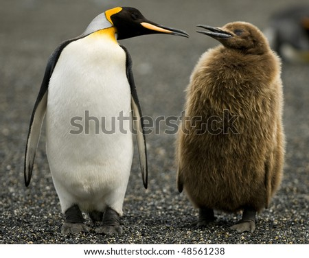 An Adult King Penguin 'chatting' to its downy chick by its side - South Georgia. - stock photo