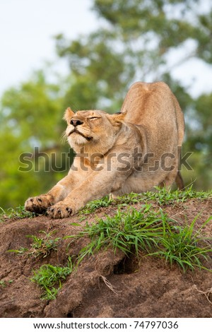 An adult lioness stretching - stock photo