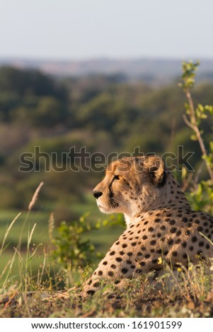 An adult male cheetah lying on a hill top and staring into the distance - stock photo