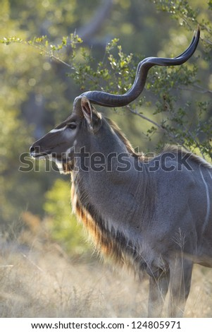 An adult Male Greater Kudu Bull, (Tragelaphus strepsiceros), in the Kruger Park, South Africa - stock photo