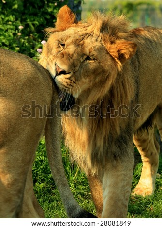 An adult male lion (Panthera leo) biting the rump of another lion - stock photo