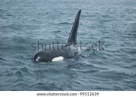 An adult male orca surfaces in the waters between US and Canada in the San Juan Islands.