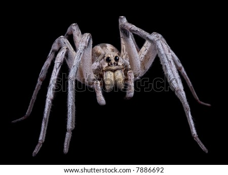 An adult male wolf spider is posing on a black background.