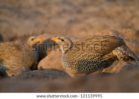An adult natal spurfowl drinking in golden light - stock photo
