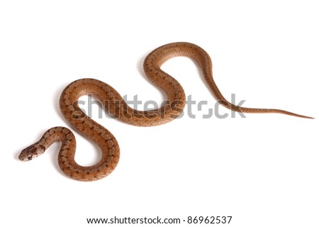 An adult Northern brown snake (Storeria dekayi) forms some S-shaped curves on a white background - stock photo