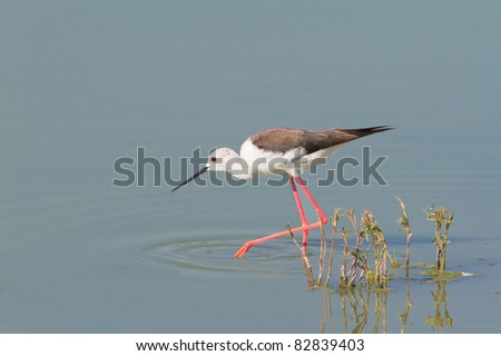 an adult of Black-winged Stilt walking through the swamp / Himantopus himantopus - stock photo