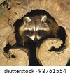 an adult of raccoon at his nest /  Procyon lotor - stock photo