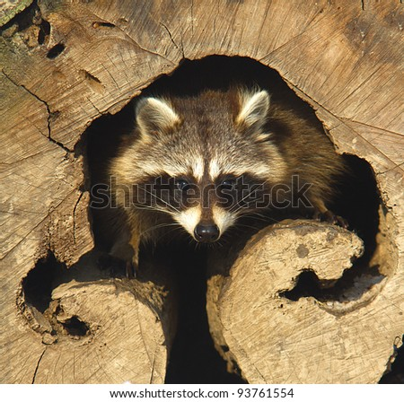 an adult of raccoon at his nest /  Procyon lotor
