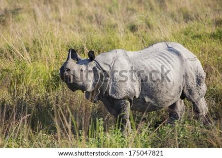 An adult one horned rhinoceros in Kaziranga National Park - Assam, India - stock photo