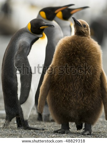 An adult penguin standing beside his large fluffy chick - South Georgia - stock photo