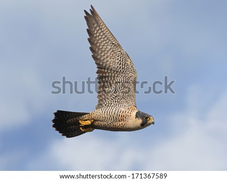 An adult peregrine falcon flashes by as it searches for its next meal - stock photo