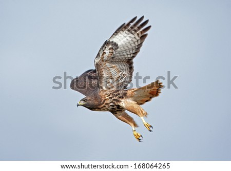 An adult red-tailed hawk takes flight from its perch - stock photo