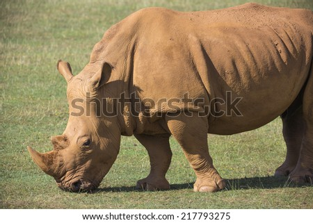 an adult rhineceros eating grass in the open - stock photo