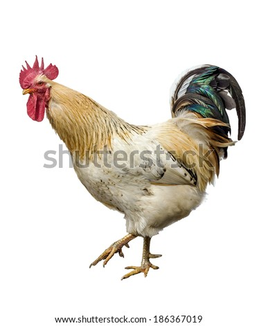 An adult rooster isolated on white background. - stock photo