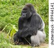 An adult siverback male gorilla feeding on vegatation - stock photo