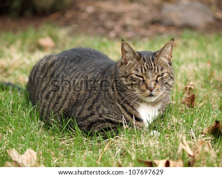 An Adult Tabby Cat Outdoors in a Grassy Yard - stock photo
