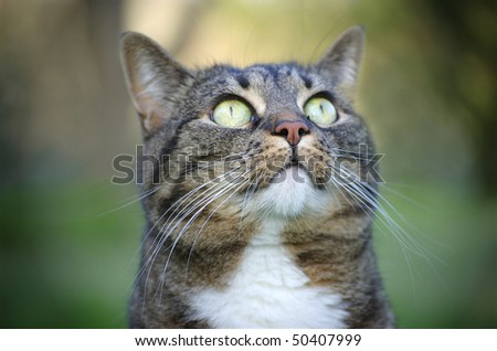 An adult tabby cat, outside, looking up