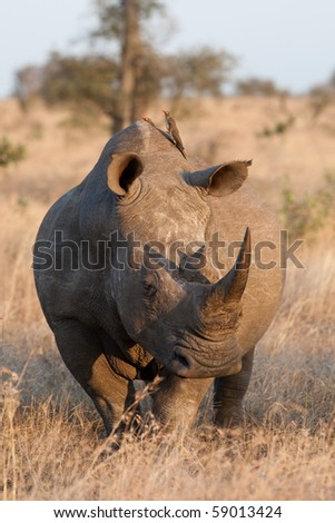 An adult white rhino bull in the kruger national park, south africa - stock photo