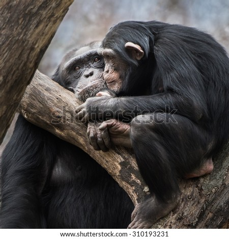 An Affectionate Chimpanzee Pair Sitting On A Tree Branch