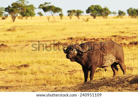 An African Cape or Water Buffalo (Syncerus caffer) on the Masai Mara National Reserve safari in southwestern Kenya. - stock photo