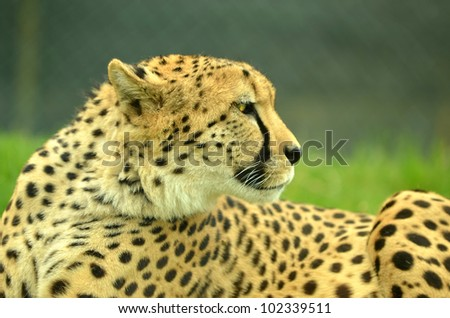 an african cheetah lying on the grass and looking very alert - stock photo