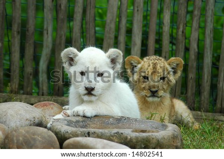 An African common lion cub lying together with a beautiful rare white lion cub watching other lions in a game park in Port Elizabeth, South Africa - stock photo