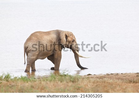 An African Elephant at a lake in Tsavo East National Park in Kenya.